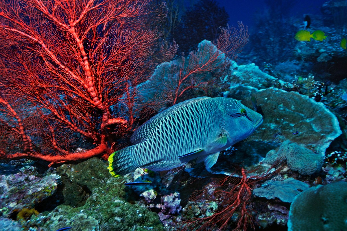 The humphead wrasse one of the worlds most endangered coral reef