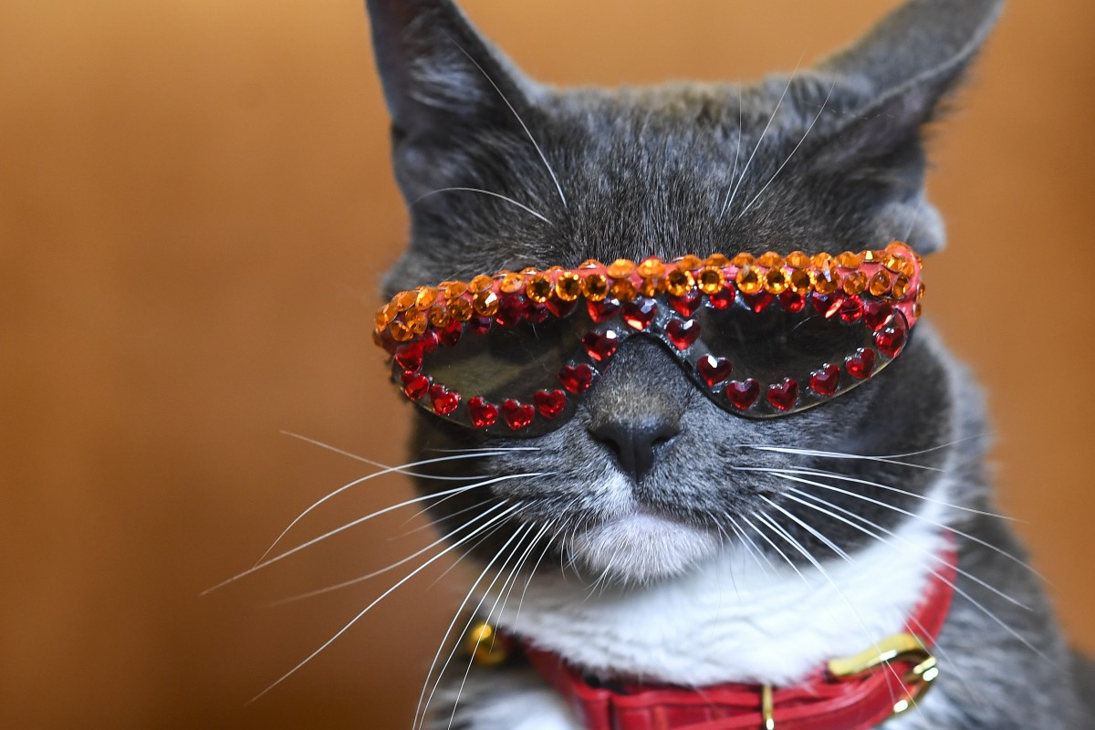 fdb2ed525c Bagel, aka Sunglass Cat, was born without eyelids and wears sunglasses to  protect her