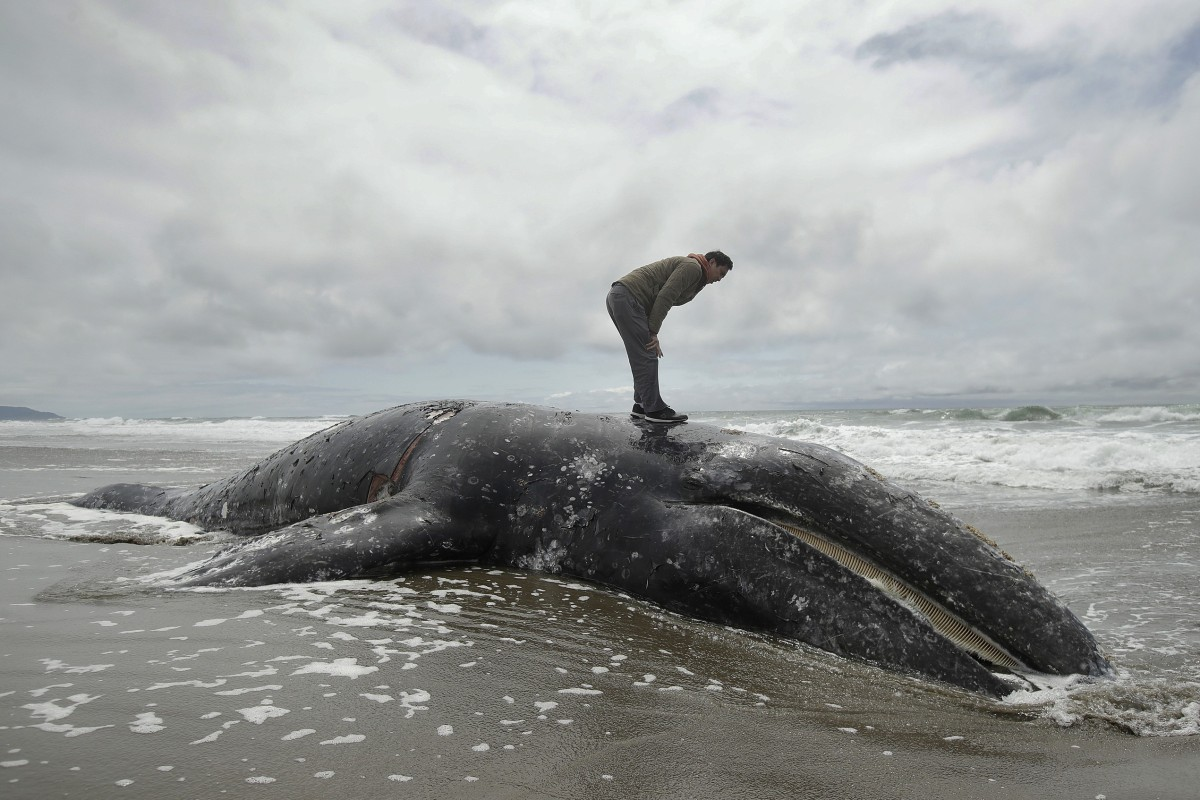 Out of space to put dead grey whales washing ashore, US