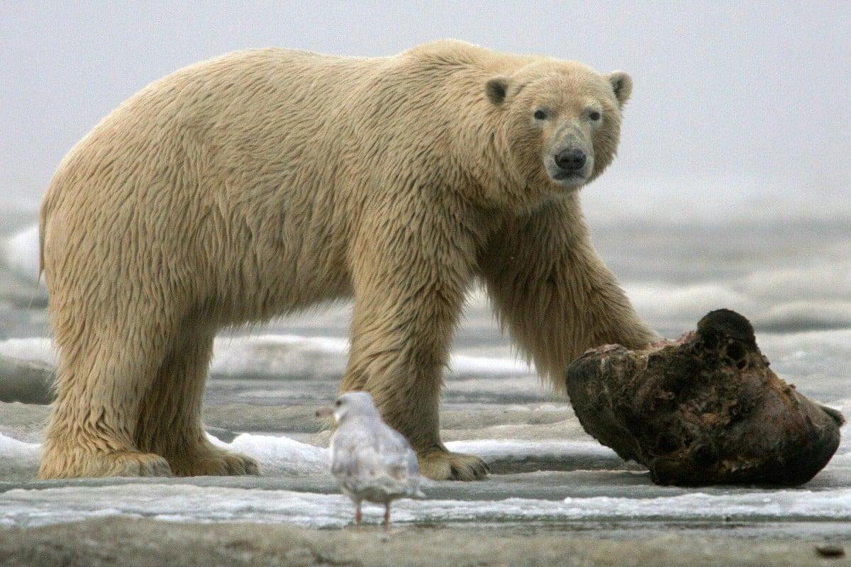Polar bear's fur inspires Chinese breakthrough in super