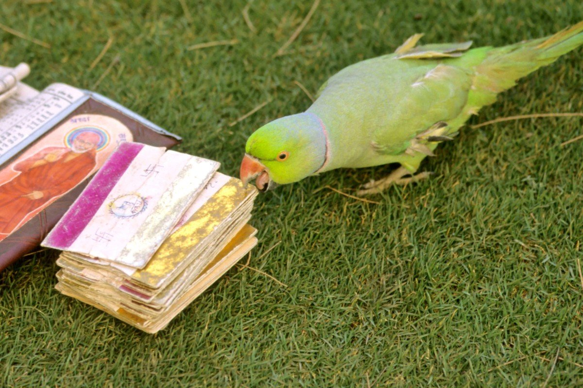 09ac4fb5 Parrot astrology is a centuries-old custom prevalent in southern India,  with the birds