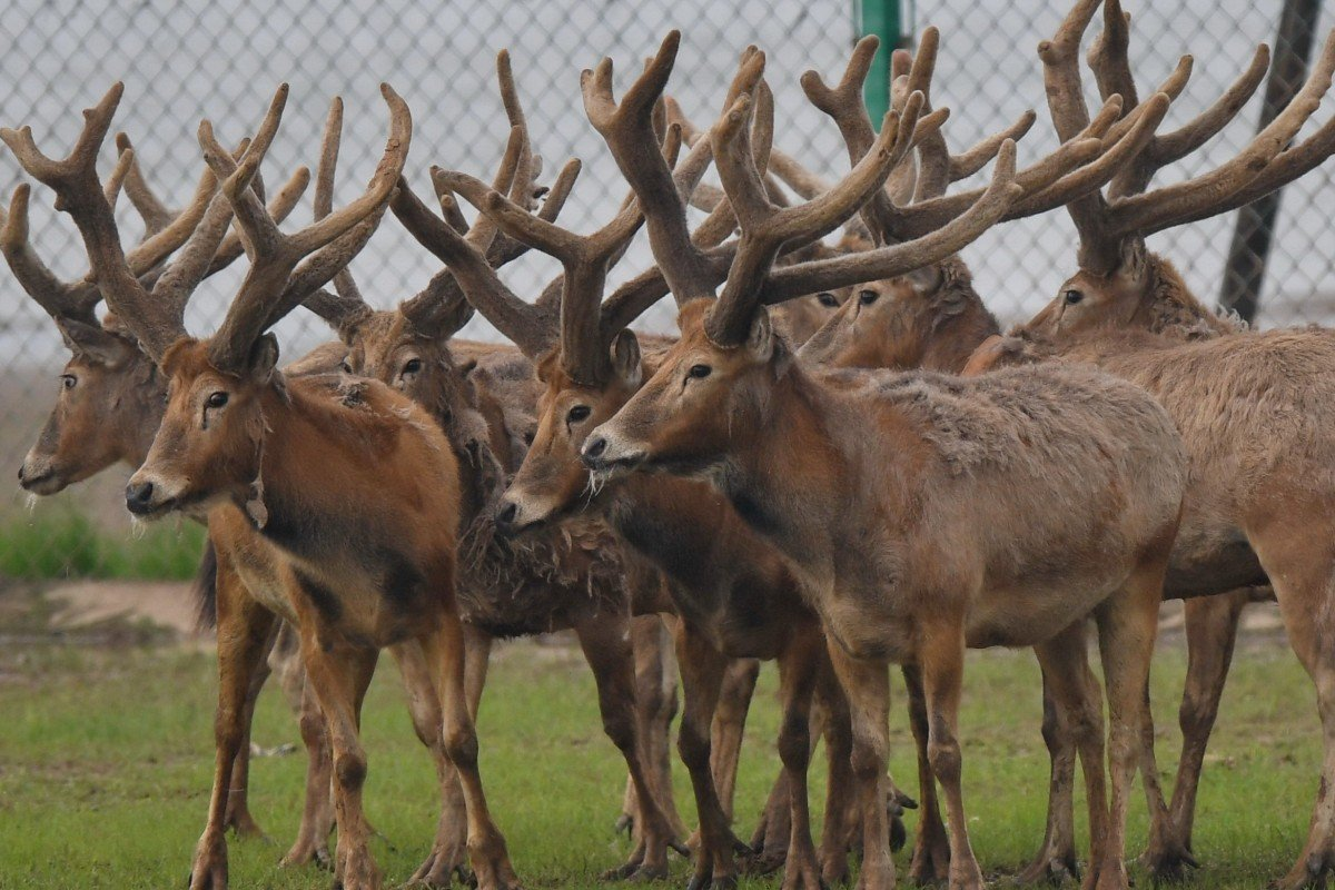 Why deer antlers could point the way to a new branch of cancer