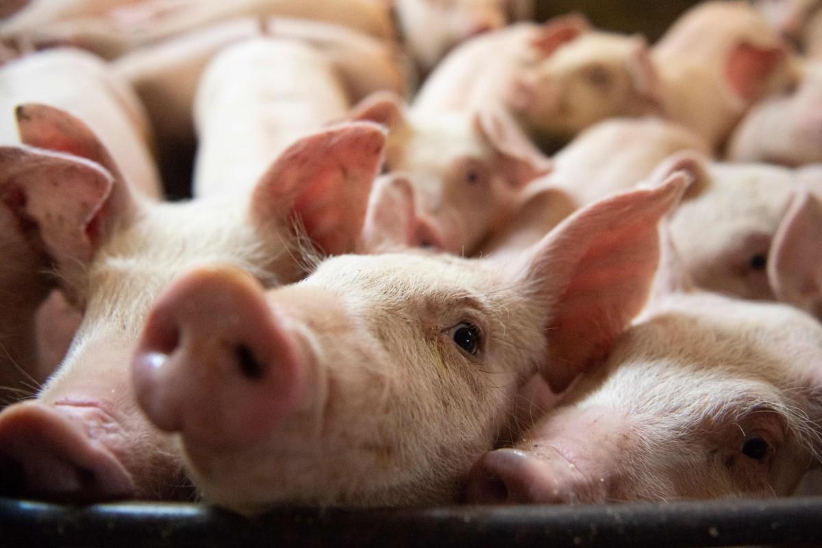 Canada investigates suspected foul play in pork shipment