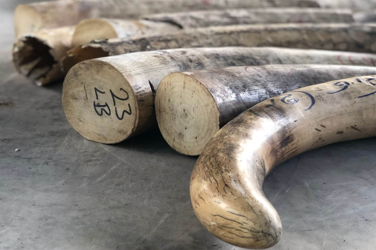 Singapore seized its biggest haul of smuggled elephant ivory in July. Photo: AFP