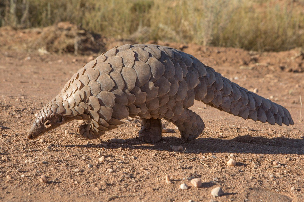 Chinese and Vietnamese demand for pangolin scales and meat is pushing the shy, scaly animal to extinction