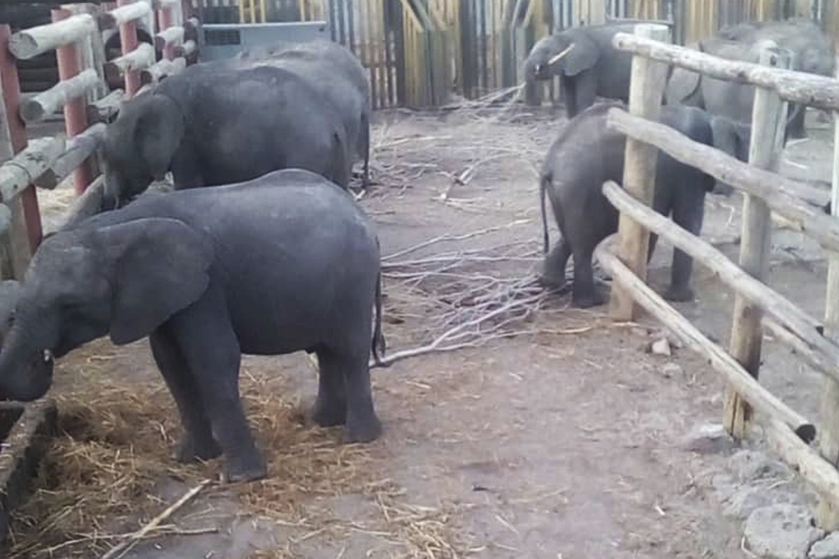 Pleasant Zimbabwe Sent 30 Baby Elephants To China To Dismay Of Gmtry Best Dining Table And Chair Ideas Images Gmtryco