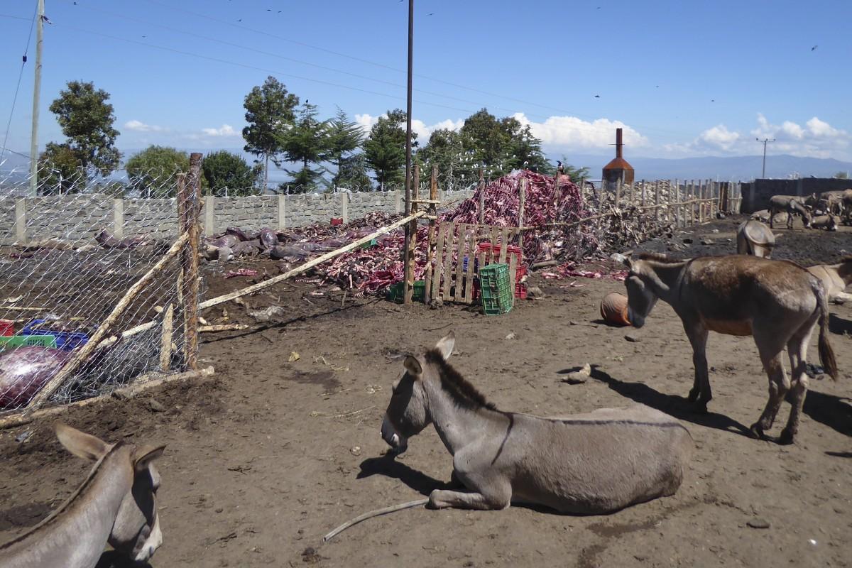 Remarkable How Chinas Demand For Donkey Skins Risks Devastating Ibusinesslaw Wood Chair Design Ideas Ibusinesslaworg