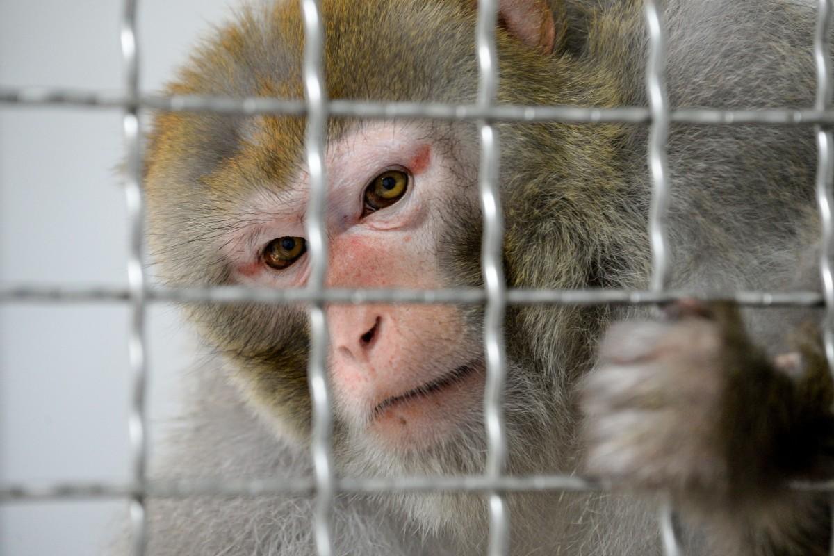 Covid-19 Monkey
