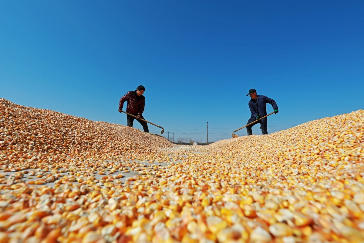 "The US Department of Agriculture, in a report Thursday on sales to ""China and unknown destinations"", noted 110,000 tonnes of corn purchases. Photo: Shutterstock"