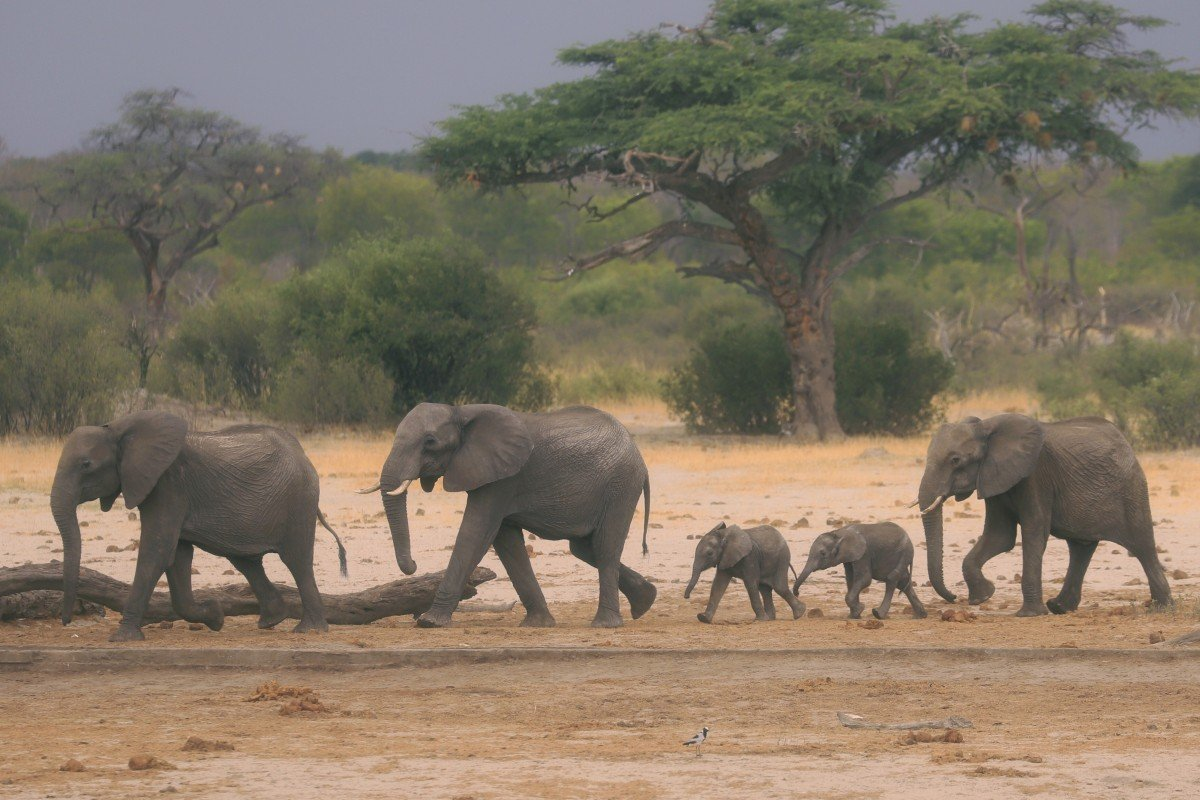 Zimbabwe last week reversed its decision to license Chinese companies to mine Hwange national park. An environmental group applied to the country's High Court on September 8, 2020, to stop coal mining in the park, home to one of Africa's largest populations of elephants. Photo: AP