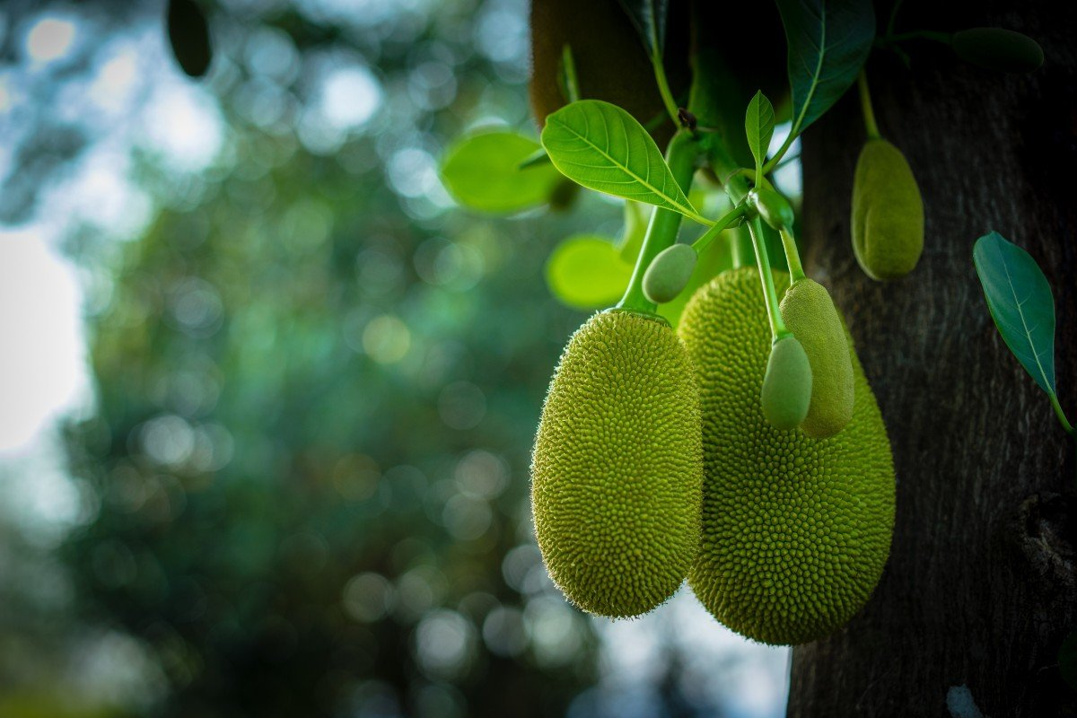 How green jackfruit flour can help with type 2 diabetes, and reduce cancer  patients' side effects from chemotherapy | South China Morning Post