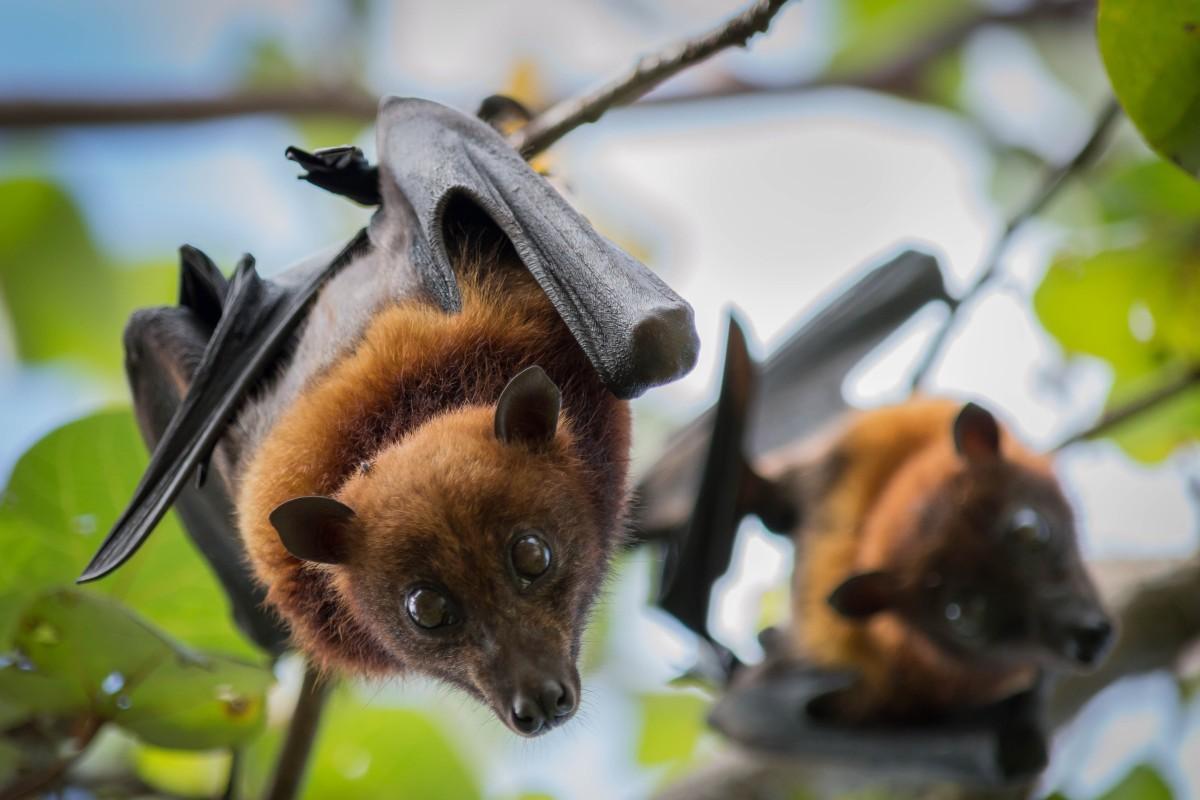 Μια κινεζική ομάδα επιστημόνων έχει αναλύσει πώς βρήκαν έναν ιό νυχτερίδας με πολλές ομοιότητες με το Sars-CoV-2.  Φωτογραφία: Shutterstock