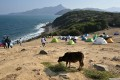 A cow eats grass brought in by volunteers on the remote Tap Mun, or Grass Island, in northeast Hong Kong as the animals struggle to find enough food thanks to a sudden influx of day-trippers and campers from the city due to the coronavirus pandemic. Photo: AFP