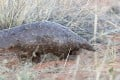 A pangolin in South Africa. Photo: AFP