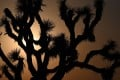 The sun sets behind Joshua trees in Lancaster, California where temperatures reached 41.6 degrees Celsius on July 12, as wildfires burned across more than one million acres of the western United States and Canada and scorching temperatures held their grip on areas reeling from a brutal weekend heat wave. Photo: AFP