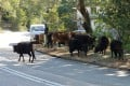 The Hong Kong government is trying to get rid of feral cows and buffalo. Cows in Cheung Sha, Lantau. Photo: Simon O'Reilly