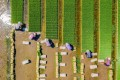 An aerial view of farmers planting rice in a paddy in Hai'an in Jiangsu province. Despite concerns about an ageing population, China has a sizeable rural workforce that can migrate into modern sectors and help offset a potential labour shortage. Photo: AFP