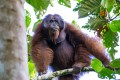 A male wild orangutan at Bukit Piton Forest Reserve, in Sabah, Malaysian Borneo. Photo: courtesy of Simon Werren