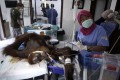 Medical workers operate on 'Hope' the orangutan, who was shot dozens of times with an air rifle. Photo: AP
