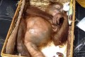 A rescued two-year-old orangutan inside a rattan basket after a smuggling attempt by a Russian tourist at Bali's airport in Denpasar. Photo: Natural Resources Conservation Agency of Bali/AFP