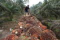 A worker handling palm oil seeds at a plantation area in Riau province, Indonesia. Photo: AFP