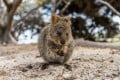 A quokka on Rottnest Island, in Western Australia. The rare marsupials have found fame on Instagram, posing for pictures with the likes of Margot Robbie and Chris Hemsworth. Photo: Rottnest Island Authority