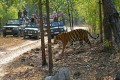 Tourists photograph a tiger in Bandhavgarh National Park, India. Photo: Alamy