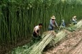 A group of workers harvest hemp at a farm near Beijing. Photo: Alamy