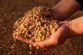 A decline or slower growth in Chinese soy imports has been forecast for the next couple of years. Photo: Reuters