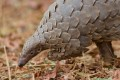 Pangolins are under greater protection but there is concern their scales are still in high demand in some parts of the world. Photo: Shutterstock