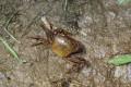 The Somanniathelphusa zanklon freshwater crab in Fanling. Photo: Photo: Paul Leader/AEC