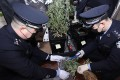 Police seize marijuana from a flat in Chengdu, Sichuan province, where a student was growing the plant for personal use. Photo: cnr.cn