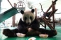 A giant panda tries to beat the heat with an ice treat at Shanghai Zoo. Photo: Xinhua