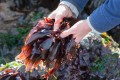Dulse has been an important part of the Irish diet for centuries and is now making a comeback in restaurants. High in vitamins and trace minerals, it is a versatile food that can be eaten as a snack and used in a variety of dishes. Photo: Alamy