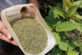 An Indonesian kratom grower displays samples of the plant before and after being processed. Photo: AFP