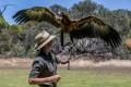 A wedge tail eagle on Kangaroo Island, which lies off the coast of South Australia.Photo: Tourism Australia