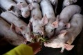 Pig numbers have roughly halved in China this year as African swine fever has ravaged herds. Photo: Reuters
