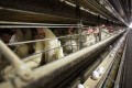 China has authorised poultry imports from 172 facilities in the US. Photo: AP