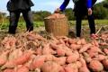 A freshly picked crop of sweet potatoes. Photo: Xinhua