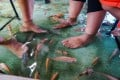 Fish nibble at the feet of diners in Indonesia having their lunch at Soto Cokro Kembang fish pool restaurant in Yogyakarta. The tables and chairs sit in ankle-deep water, home to thousands of Red Nile Tilapia fish that munch dead skin off the feet of diners. Photo: AFP