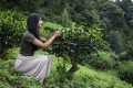 Resham Daswani visits a tea plantation, sourcing leaves for the tea meditation ceremonies she conducts in Hong Kong. Photo: Handout