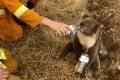 A koala drinks water from a bottle offered by a firefighter in Cuddle Creek, Australia, in December. Photo: AP