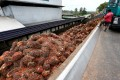 Bunches of palm oil fruit are unloaded from a truck at a mill in Bahau, Negeri Sembilan, Malaysia. Photo: Reuters