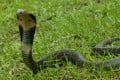 The Chinese cobra has been identified as one of two snakes that could be the reservoir for the coronavirus outbreak. Photo: AFCD