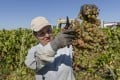 A grape picker at work in a winery in Poceirao, Portugal. Picture: Getty Images