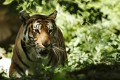 South China tigers have not been sighted in Hong Kong since the 1970s, but author John Saeki has discovered that before this there were more sightings than most people may realise. Photo: Reuters