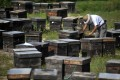 Coronavirus traffic restrictions are stopping some beekeepers from moving their hives in search of food. Photo: EPA