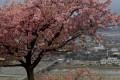 A cherry tree in Matsuda, Japan. Photo: AP