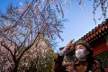 A woman takes a photo of cherry blossoms at a park in Beijing on March 14. China reported 11 new infections of the coronavirus that day, and for the first time since the start of the epidemic, most of them were cases imported from overseas. Photo: AFP