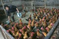"""The live poultry trade may play a """"significant role"""" in bird flu transmission across China, researchers say in a new report. Photo: Getty Images"""